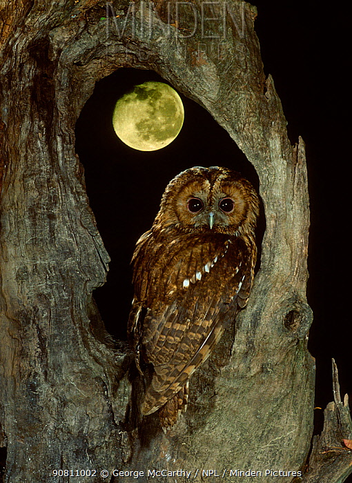 Tawny owl with moon behind (Strix aluco), UK.