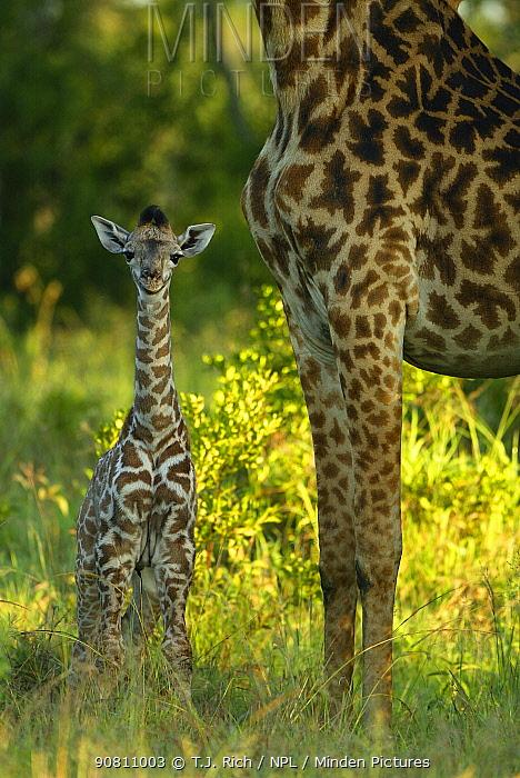 Giraffe baby standing next to mother (Giraffa camelopardalis). Masai Mara, Kenya.