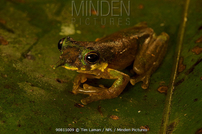 Long-nosed Frog (Litoria pinocchio) in profile. Foja Mountains, Papua, Indonesia, 2008.  (taken during Conservation International Rapid Assessment Program expedition)