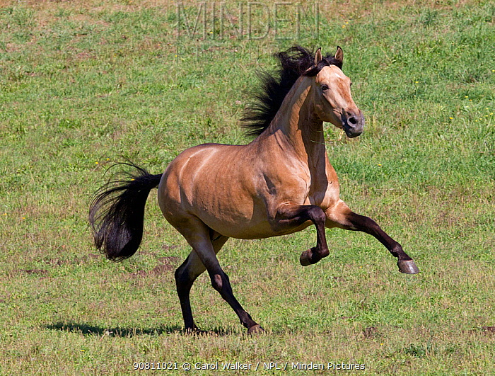 Buckskin Andalusian stallion running. Ojai, California, USA.
