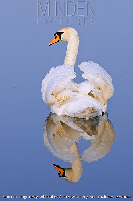 Mute swan (Cygnus olor), Kent, England, UK, March (This image may be licensed either as rights managed or royalty free.)