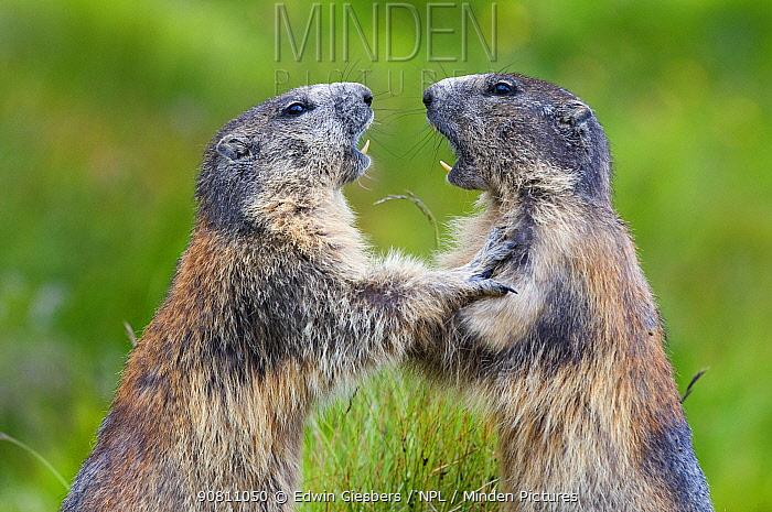 Alpine marmots (Marmota marmota) fighting, Hohe Tauern National Park, Austria. July.