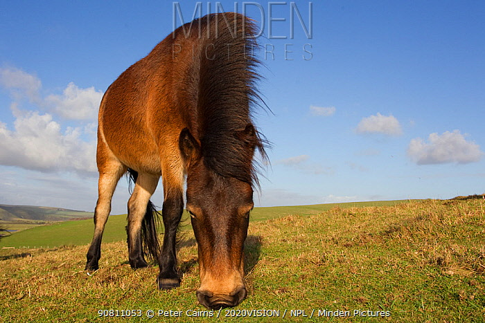 Exmoor Pony (Equus caballus) grazing at Seven Sisters Country Park, South Downs, England, November.