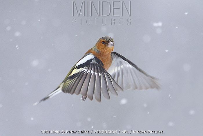Chaffinch (Fringilla coelebs) male in flight in snow. Glenfeshie, Scotland, February.