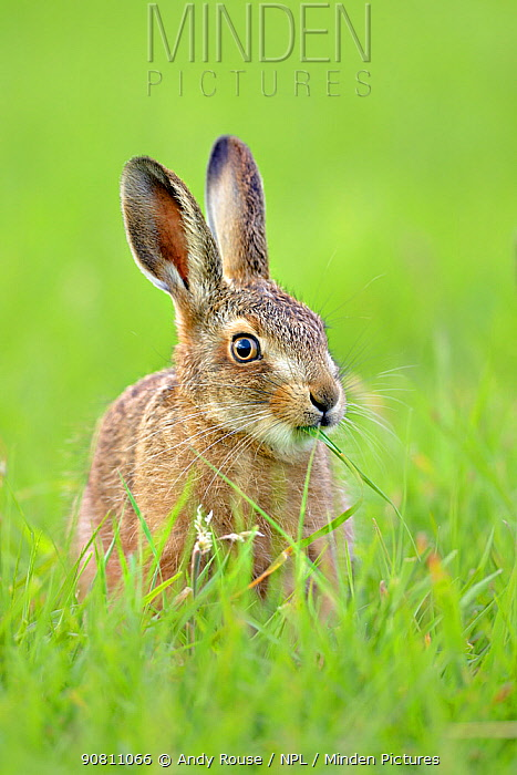 European hare (Lepus europaeus) leveret in field, UK. June.