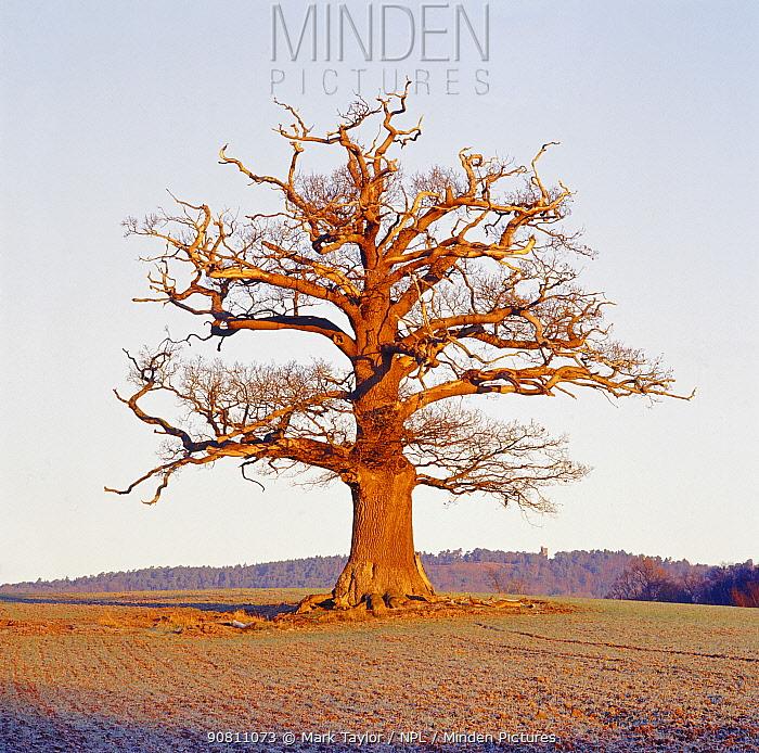 English oak tree (Quercus robur) portrait in winter, Surrey, UK, December.