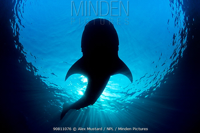 Whale shark (Rhincodon typus) silhouette of shark feeding on floating fish eggs (not visible) just below the surface in calm weather. Isla Mujeres, Quintana Roo, Yucatan Peninsula, Mexico. Caribbean Sea. Endangered species.