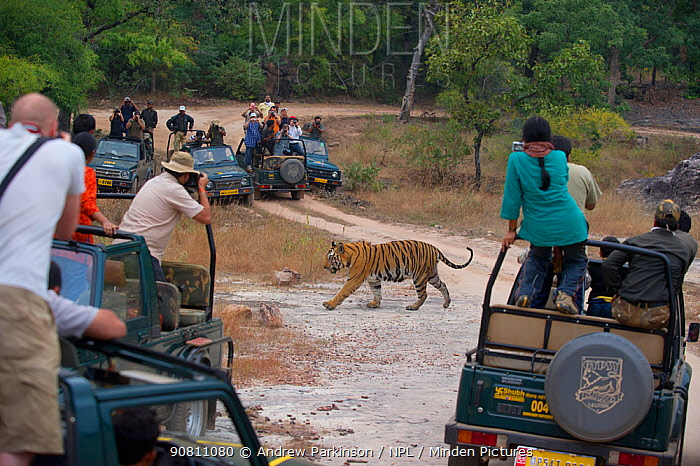 Bengal Tiger (Panthera tigris) 11 year adult male crossing forest road between vehicles with people watching. Endangered. Bandhavgarh National Park, India. Non-ex. No release available.