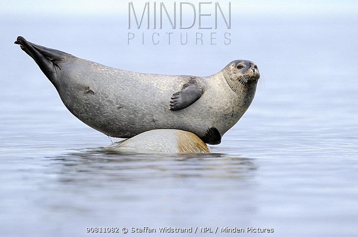 Ringed seal (Pusa hispida) hauled out on rock, Svalbard, Norway.