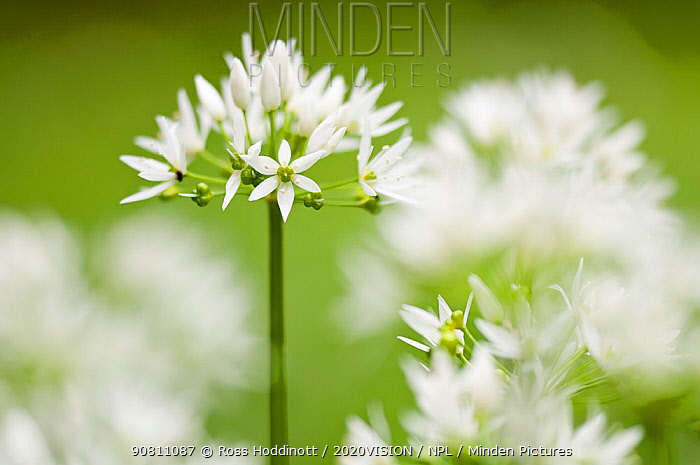 Wild garlic / Ramsons (Allium ursinum) flowering in woodland, Cornwall, England, UK, May.
