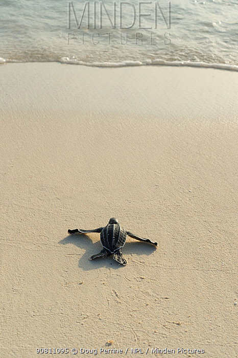 Leatherback sea turtle hatchling (Dermochelys coriacea) crawling toward the Caribbean sea after emerging from nest, Playa Colita, Pedernales, Dominican Republic, May.