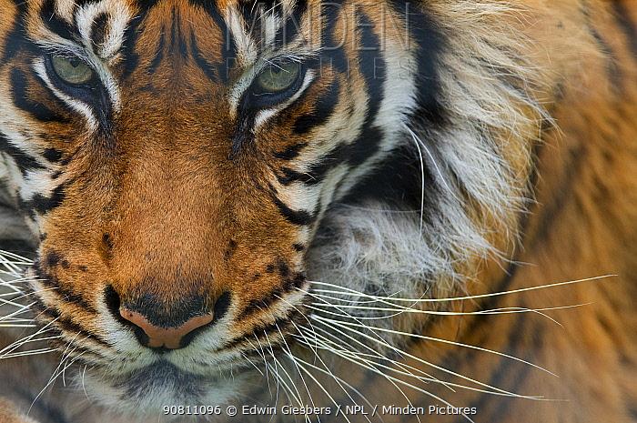 Sumatran tiger (Panthera tigris sumatrae) close-up head portrait, captive.