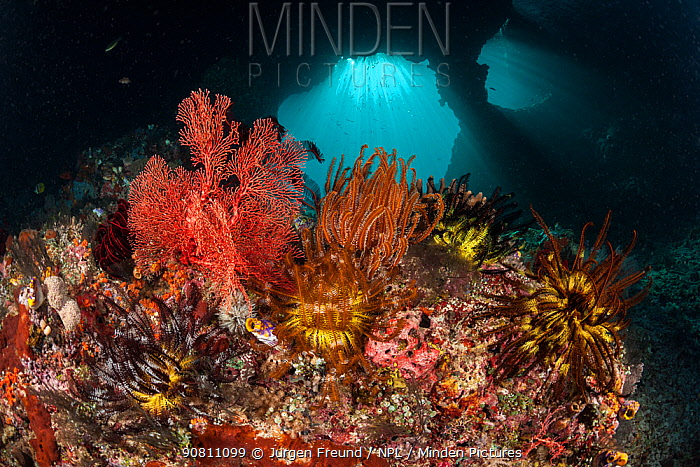 Crinoid (Crinoidea) on fan corals (Gorgonacea), Raja Ampat, West Papua, Indonesia