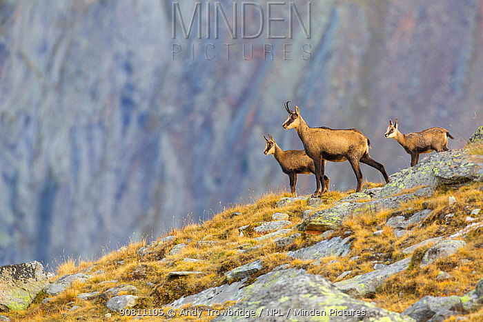 Chamois (Rupicapra rupicapra) female with two kids standing on ridge. Lauson's Valley, Gran Paradiso National Park, Italy, September.