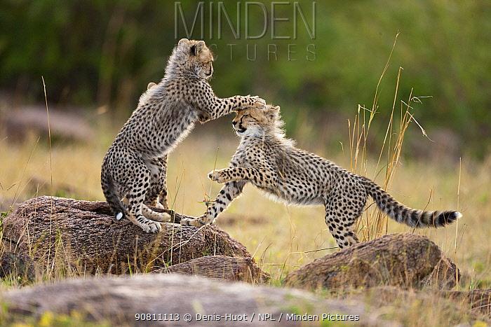 Cheetah (Acinonyx jubatus) cubs playing, Masai-Mara Game Reserve, Kenya. Vulnerable species.