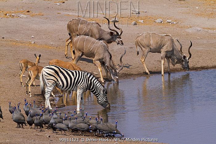 Greater kudu (Tragelaphus strepsiceros) males drinking at waterhole with Impalas (Aepyceros melampus) and Zebras (Equus quagga) Etosha National Park, Namibia.