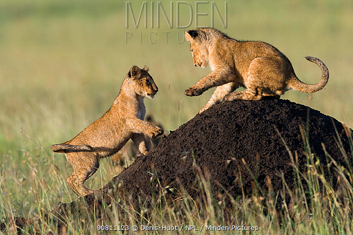 Lion (Panthera leo) cubs playing on termite mound, Masai-Mara game reserve, Kenya. Vulnerable species.