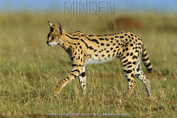 Serval cat (Felis serval) Masai-Mara Game Reserve, Kenya.