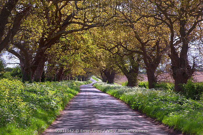 Country lane lined with oaks (Quercus rubur) Walsingham, Norfolk, May.