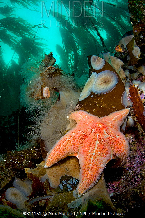 Leather sea star or Garlic star (Dermasterias imbricata) in shallow water beneath forest. Browning Pass, Vancouver Island, British Columbia, Canada. North East Pacific Ocean.