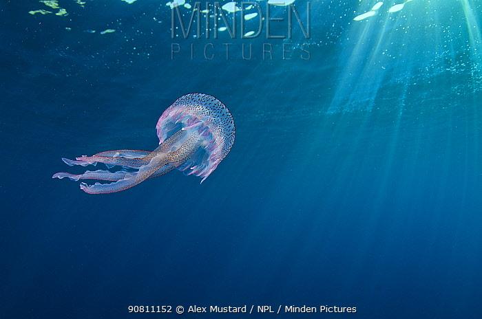 Small jellyfish (Pelagia noctiluca) swimming beneath surface. Marine Protected Area of Portofino (Area Marina Protetta, Portofino), Liguria, Italy. Mediterranean Sea.