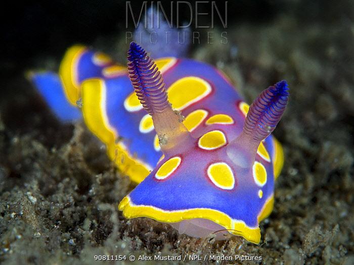 Nudibranch (Chromodoris luteorosea) crawls across the seabed searching for food. Punto Saline, Olbia, Sardinia, Italy. Tyrrhenian Sea, Mediterranean Sea.
