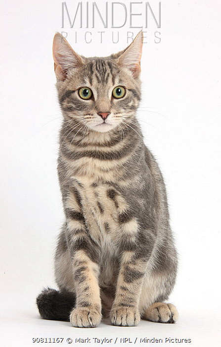 Tabby cat, aged 5 months, sitting.