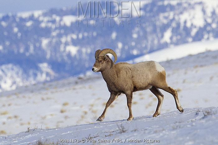Bighorn sheep (Ovis canadensis), Grand Teton National Park, Wyoming, USA, February.