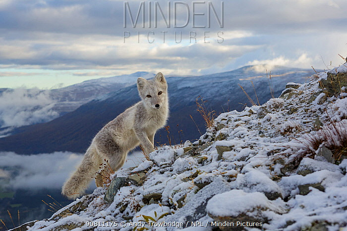 Arctic Fox (Alopex / Vulpes lagopus) standing on ridge, during moult from grey summer fur to winter white. Dovrefjell National Park, Norway, September.