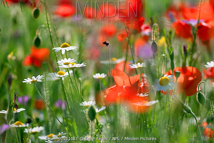 Bumblebee (Bombus) in flight amongst flowering Field poppies (Papaver rhoeas) and Ox-eye daisies (Leucanthemum vulgare). Chiltern Hills, Area Of Natural Beauty, Buckinghamshire, England, UK. June.