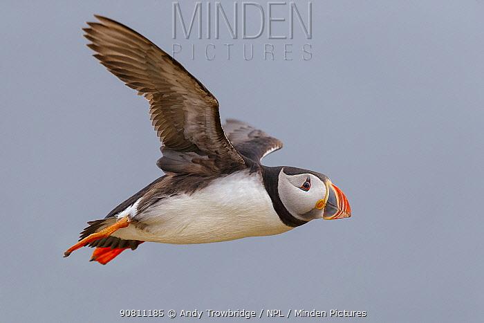 Puffin (Fratercula arctica) in flight. Fair Island, Shetland Islands, Scotland, July.