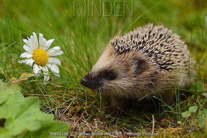 European hedgehog (Erinaceus europaeus) orphan, Jarfalla, Sweden. August.