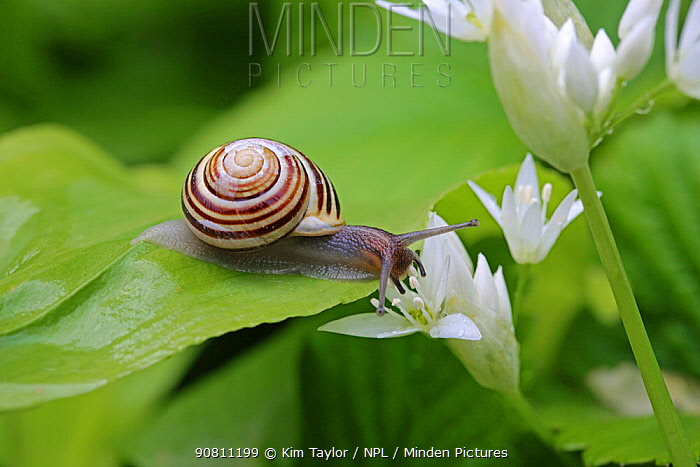 White-lipped banded snail (Cepaea hortensis) on Wild garlic leaf. Gloucestershire, England, April.