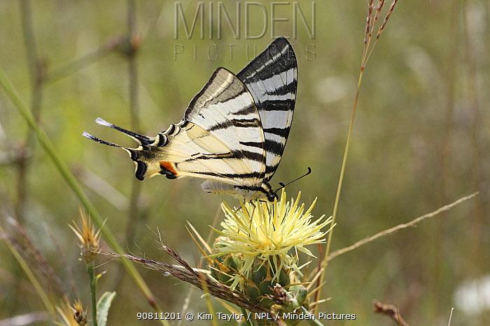 Scarce swallowtail butterfly (Iphiclides podalirius) on Yellow thistle (Centaurea sp) Bulgaria, July.