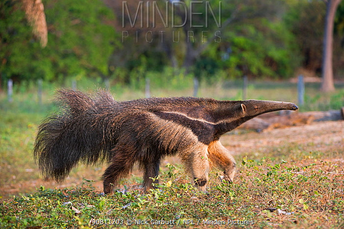 Adult Giant Anteater (Myrmecophaga tridactyla) foraging, Northern Pantanal, Mato Grosso State, Brazil, South America.
