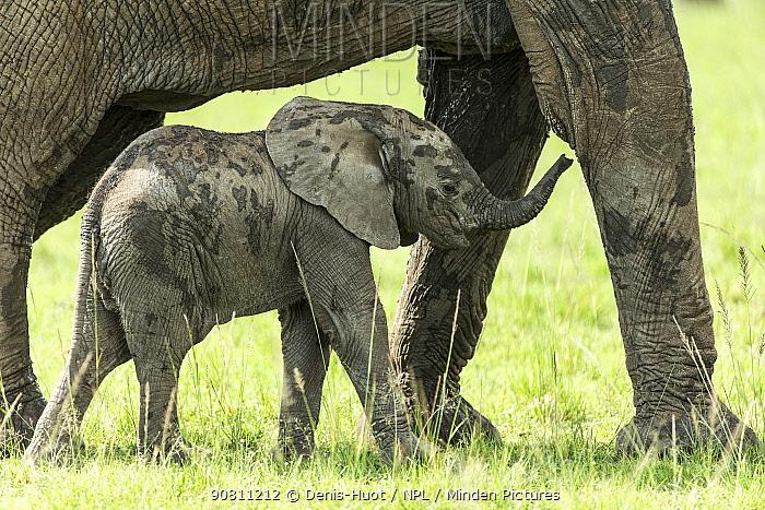 African elephant (Loxodonta africana) female and caf aged one month, Masai-Mara Game Reserve, Kenya, October.