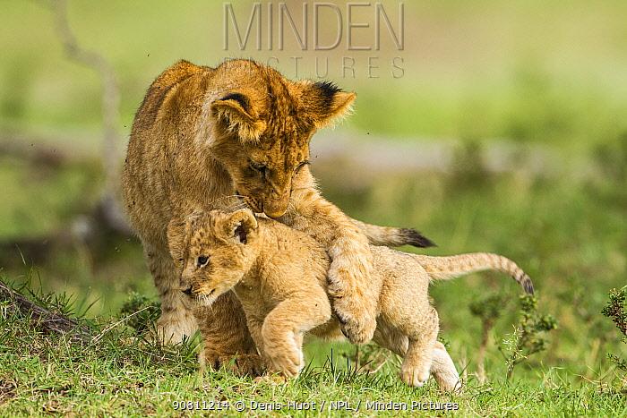 Lion (Panthera leo) cubs playing, Masai Mara Game Reserve, Kenya, September.