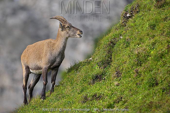 Female Alpine ibex (Capra ibex) feeding. Bernese Alps, Switzerland. August.