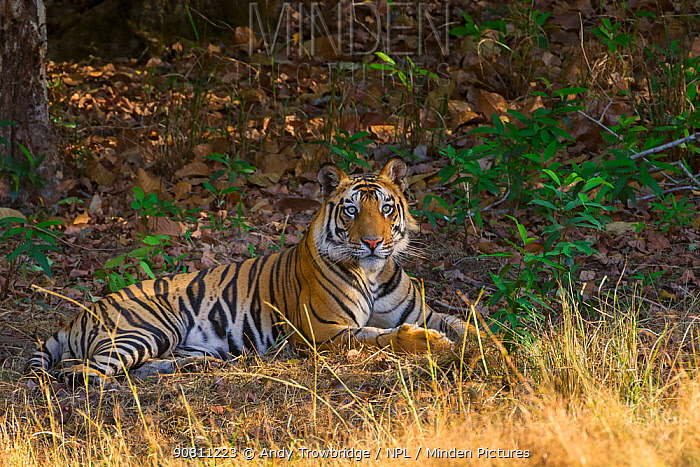 Bengal tiger (Panthera tigris tigris) young male at rest in the shade of the forest edge. Bandhavgarh National Park, India. April.