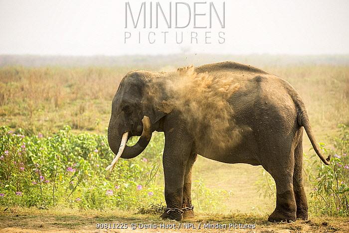 Domesticated Asian elephant (Elephas maximus) dust bathing, Kaziranga National Park, Assam, India.