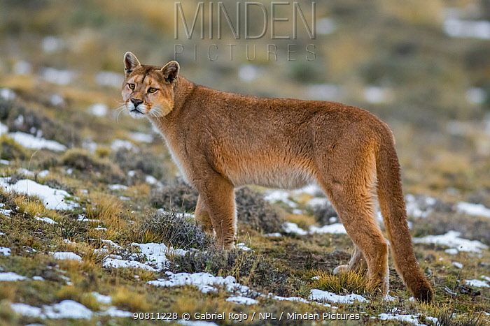 Puma (Puma concolor) in high altitude habitat, Torres del Paine National Park, Chile.