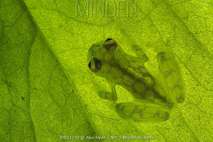 Reticulated Glass Frog (Hyalinobatrachium valerioi) backlit showing highly translucent body. Osa Peninsula, Costa Rica.