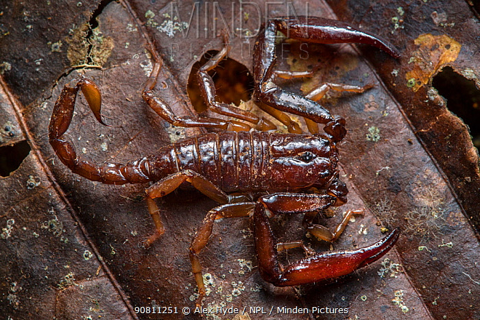 Scorpion (Chactus exsul) Central Caribbean foothills, Costa Rica.