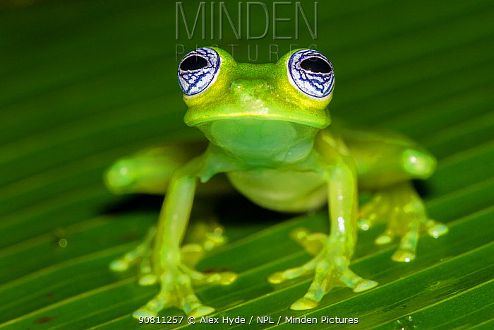 Ghost Glass Frog (Sachatamia ilex) Central Caribbean foothills, Costa Rica.