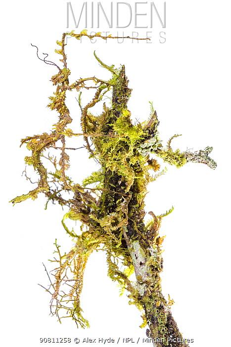 Moss mimic stick insect (Trychopeplus laciniatus) camoflaged on mossy vine. Cordillera de Talamanca mountain range, Caribbean Slopes, Costa Rica.