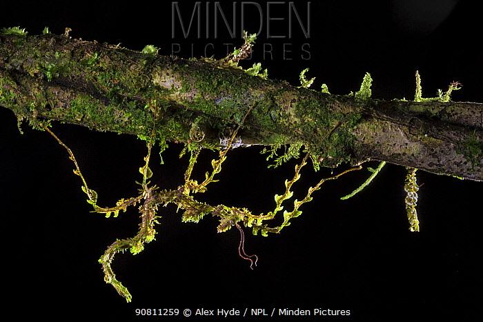 Moss mimic stick insect (Trychopeplus laciniatus) camouflaged on mossy vine. Cordillera de Talamanca mountain range, Caribbean Slopes, Costa Rica.