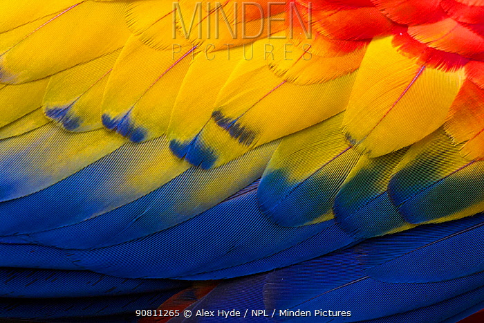 Close up of feathers of a Scarlet Macaw (Ara macao) Osa Peninsula, Costa Rica.