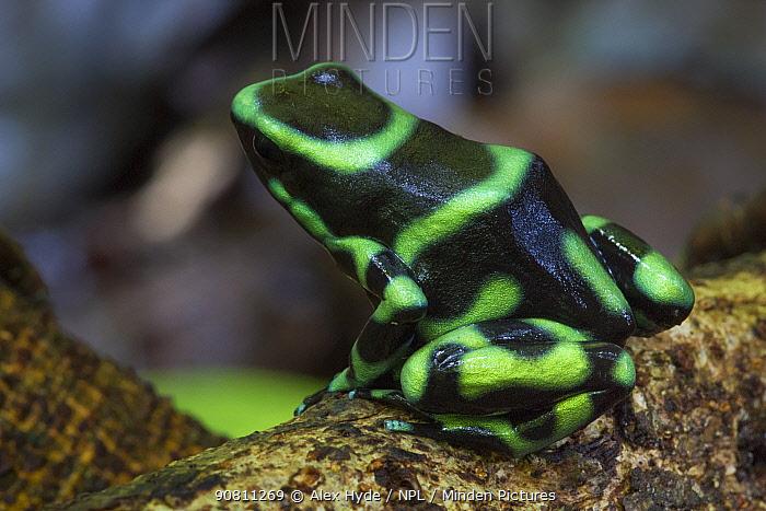 Green and Black Poison Frog (Dendrobates auratus). Osa Peninsula, Costa Rica.