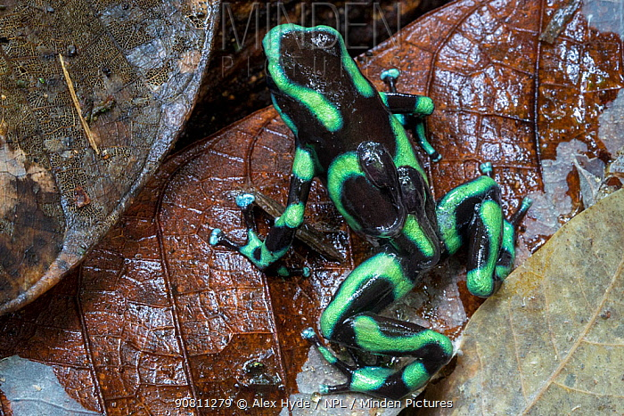Green and Black Poison Frog male (Dendrobates auratus) carrying two tadpoles on its back. Osa Peninsula, Costa Rica.