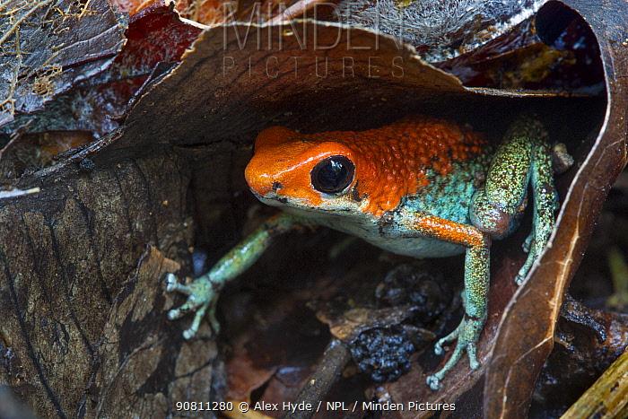 Granular poison frog (Oophaga granulifera). Osa Peninsula, Costa Rica. Vulnerable species.